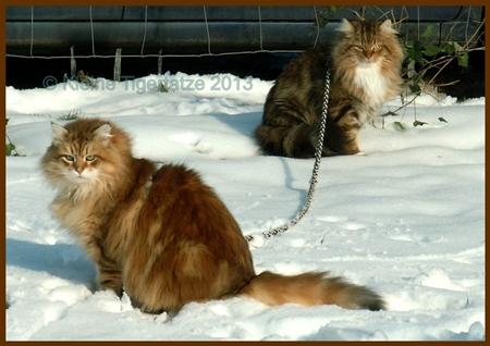 Rasse Portrait Sibirische Katze Sibirische Katzen Kleine Tigertatze